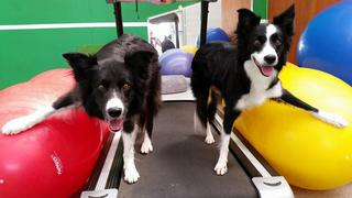 Gun and Ripple in the gym at Dynamic K9s